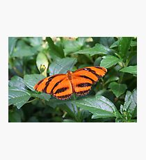 Orange Tiger Butterfly Photographic Print