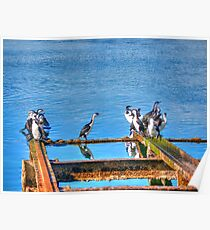 Shags at Kingscote Jetty Poster