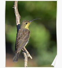 Sunbird.... Poster