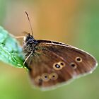 Ringlet butterfly von Russell Couch