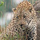 A stalking leopard by Anthony Goldman