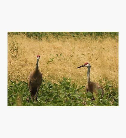 Pair of Sandhill Cranes Photographic Print