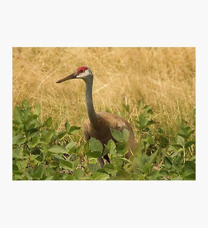 Sandhill Crane Skirted in Green Leaf Photographic Print