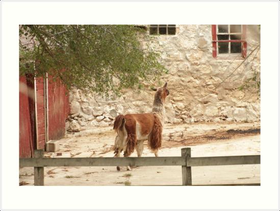 Llama in Courtyard by Thomas Murphy
