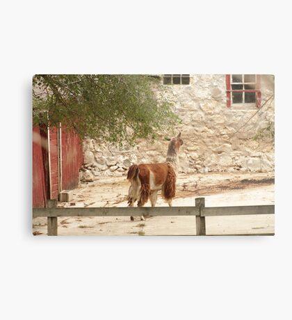 Llama in Courtyard Metal Print