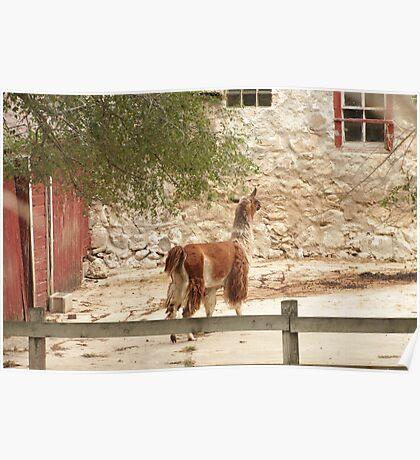 Llama in Courtyard Poster