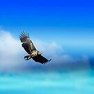 Sea Eagle by julie08