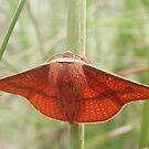 Orange Moth by Lydia Heap