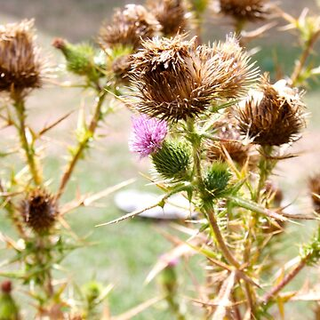 Summer Thistles by EmField