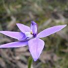 Waxing the bush. Wax-lip Orchid - Glossodia major by Lydia Heap