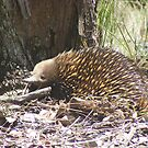 Where is the nearest ant nest? Short-beaked Echidna - Tachyglossus aculeatus by Lydia Heap
