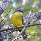 Dropping in for lunch. Eastern Yellow Robin - Eopsaltria australis by Lydia Heap