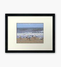 Gulls near breakers. Silver Gull - Chroicocephalus novaehollandiae Framed Print