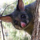 Good Morning, Possums. Common Brushtail Possum - Trichosurus vulpecula by Lydia Heap