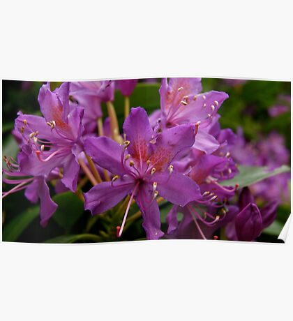 Rhododendron-National Flower Of Nepal Poster