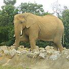posing elephant by cheeseman-art