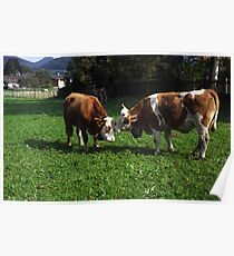 Cows Nuzzling Poster