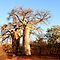 BOME /TREES in Afrika/Africa