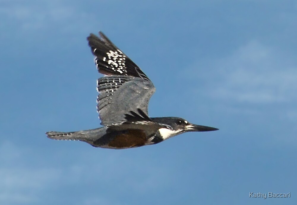 Female Belted Kingfisher In Flight by Kathy Baccari