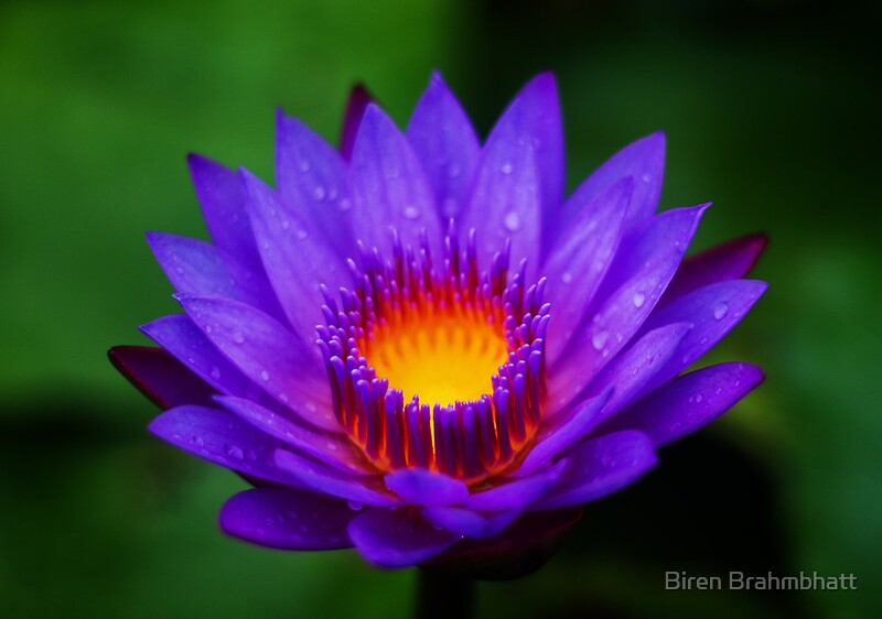 Quot Neel Kamal Purple Colored Lotus Quot Posters By Biren