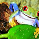 Red-Eyed Tree Frog  by K D Graves Photography