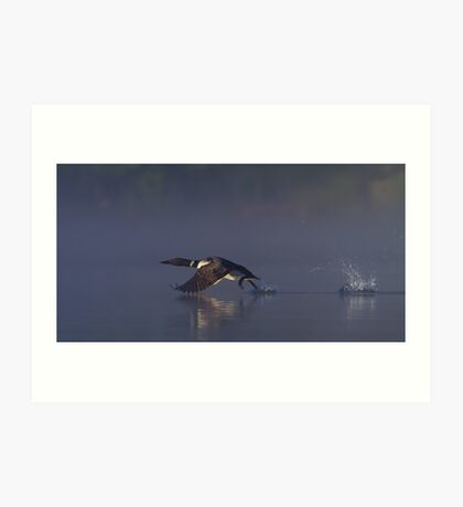 Common loon skipping Art Print