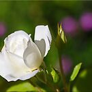 Accented White by Chet  King