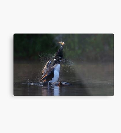 Pisces Rising - Common loon with fish Metal Print