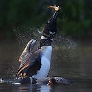 Pisces Rising 2 - Common Loon by Jim Cumming