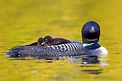 Ready for bed - Common loons by Jim Cumming