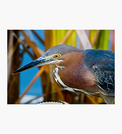 Heron in the Grass Photographic Print