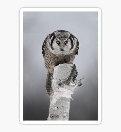 Hawk on log portrait - Northern Hawk Owl Sticker