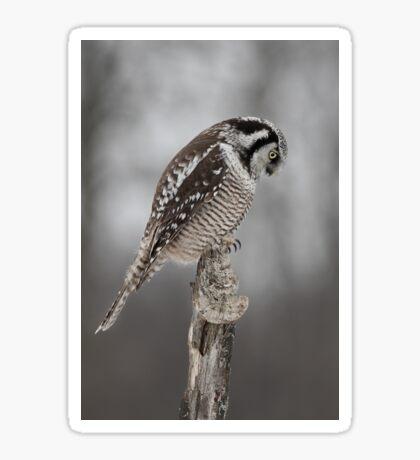 Northern Hawk Owl checks his claws Sticker