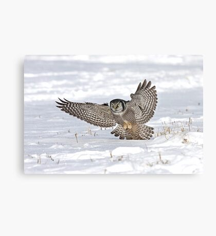 Northern Hawk-Owl Metal Print