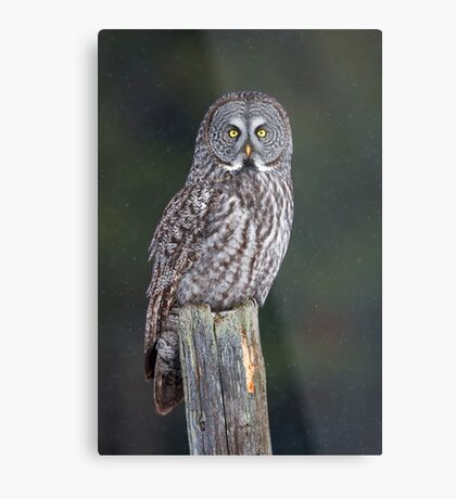 Great Grey Owl on Post Metal Print
