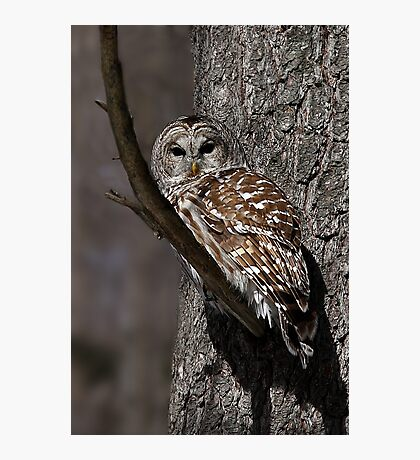 Barred Owl - Low, Quebec Photographic Print