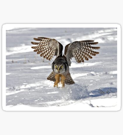 Snow Blast - Northern Hawk owl Sticker