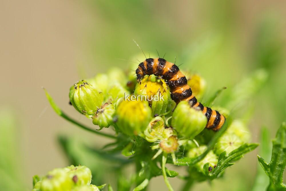 Cinnabar Moth Caterpillar on Ragwort Bud by kernuak
