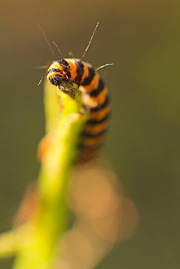 Cinnabar Moth Caterpillar in the Evening by kernuak