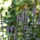 Purple Loosestrife by Astrid Ewing Photography