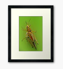 The beautiful grasshoper Framed Print