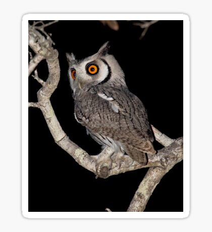Southern White Faced Owl Sticker