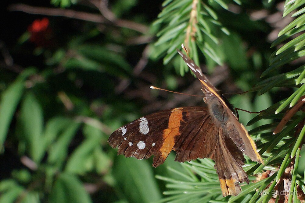 Red Admiral (card only) by Max Buchheit