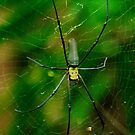 Golden Orb Spider by Phil Thomson IPA