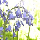 Bluebells of The Woods by Sarah Jane Bingham