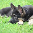 German Shepheard Puppy by Jackie Popp