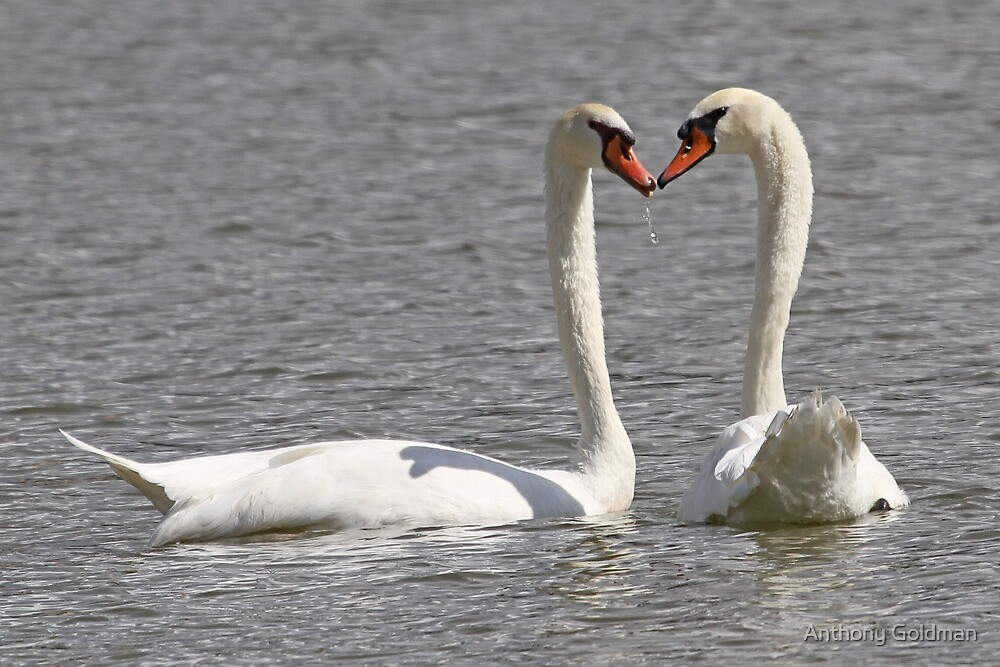 A wet water kiss for swan lovers ! by Anthony Goldman