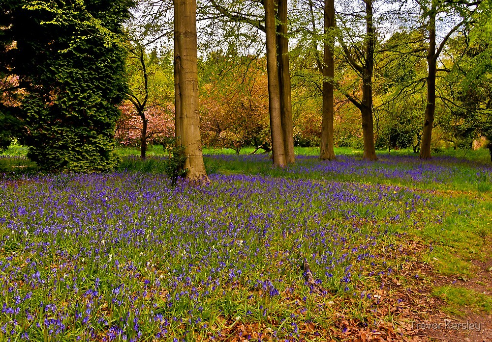Down in Bluebell Wood by Trevor Kersley