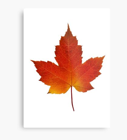 Maple Leaf - Algonquin Park, Canada Metal Print