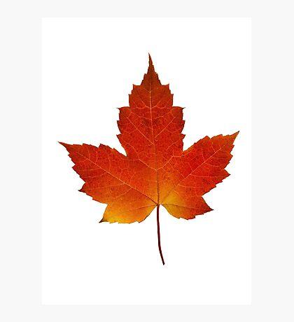 Maple Leaf - Algonquin Park, Canada Photographic Print